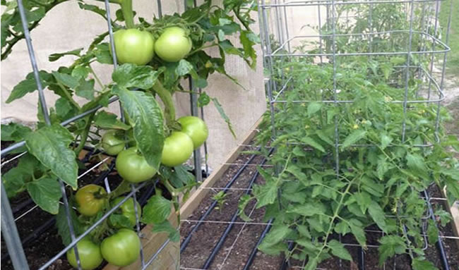 Square Mesh Cage Support For Cherry Tomato Harvests